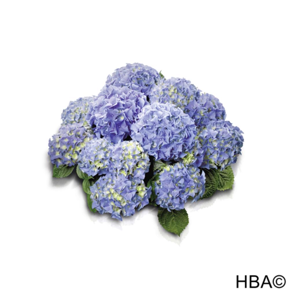 Early® Blue (Bildquelle HBA)
