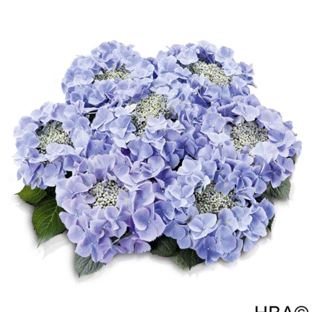 Frisbee® Blue (Bildquelle HBA)