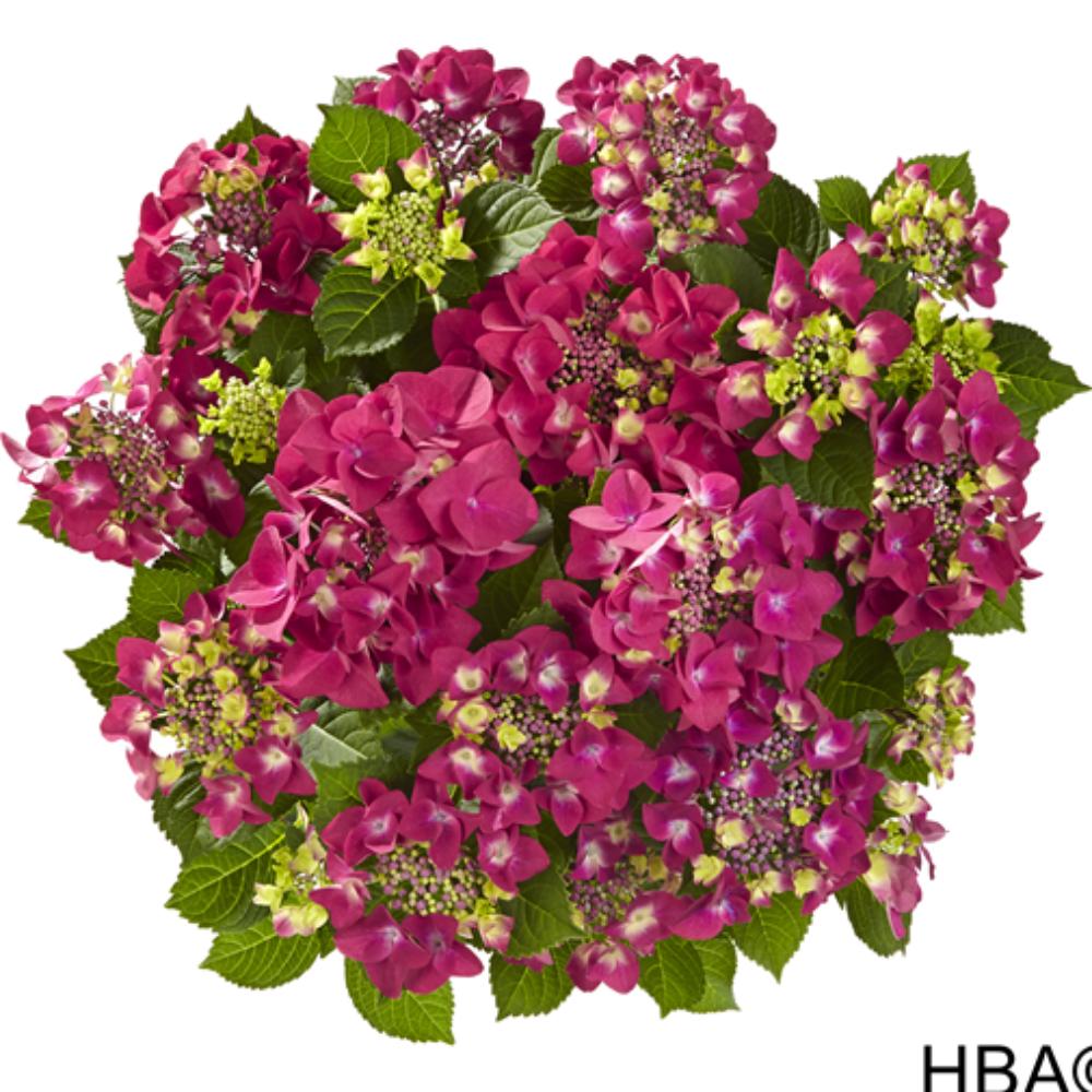 Frisbee® Hot Pink (Bildquelle HBA)