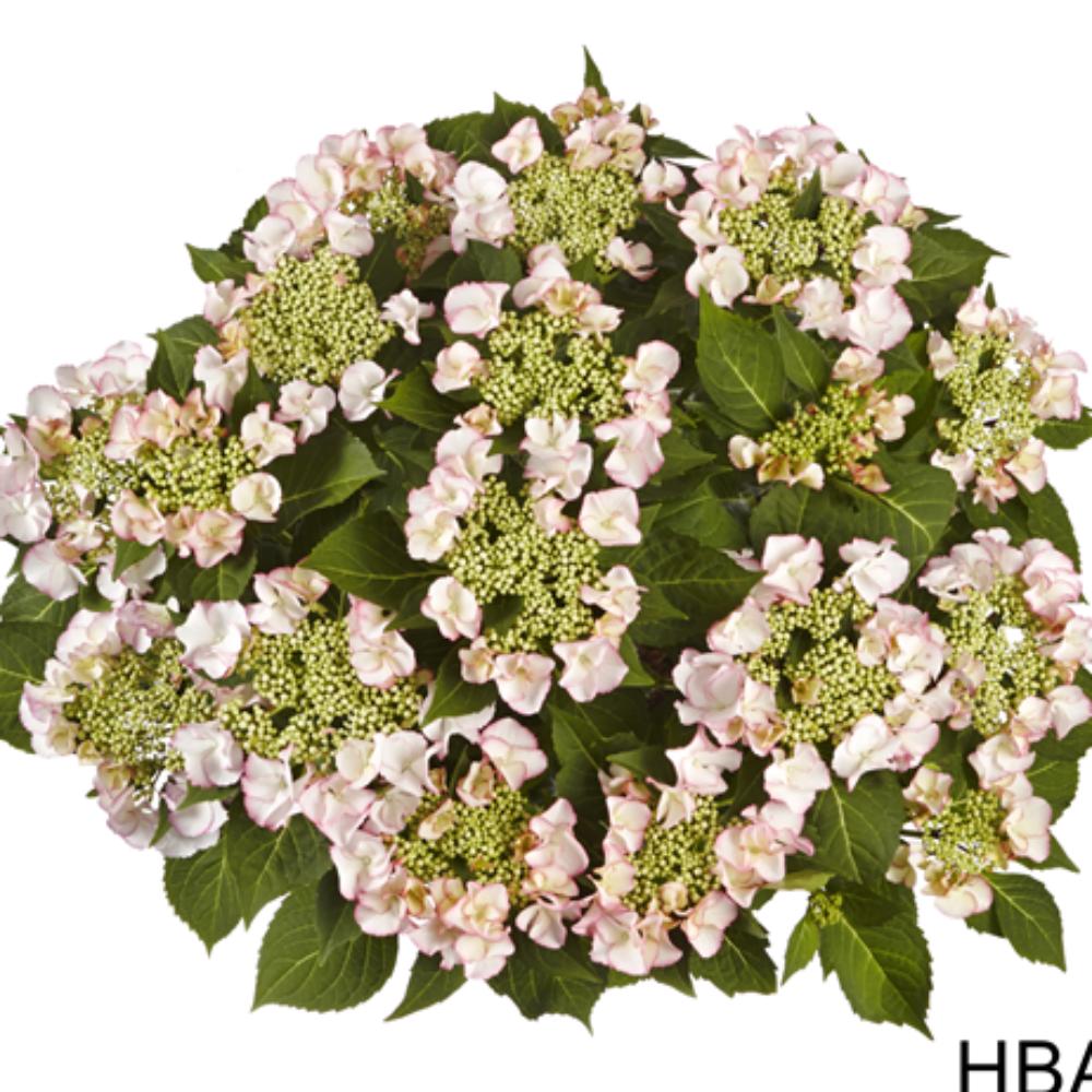 Frisbee® Petticoat Rosa(Bildquelle HBA)