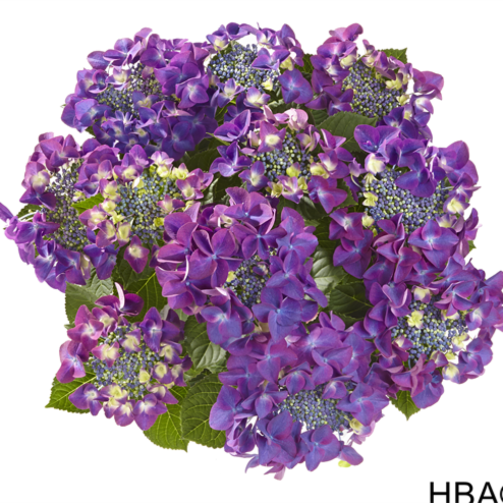 Frisbee® Purple (Bildquelle HBA)