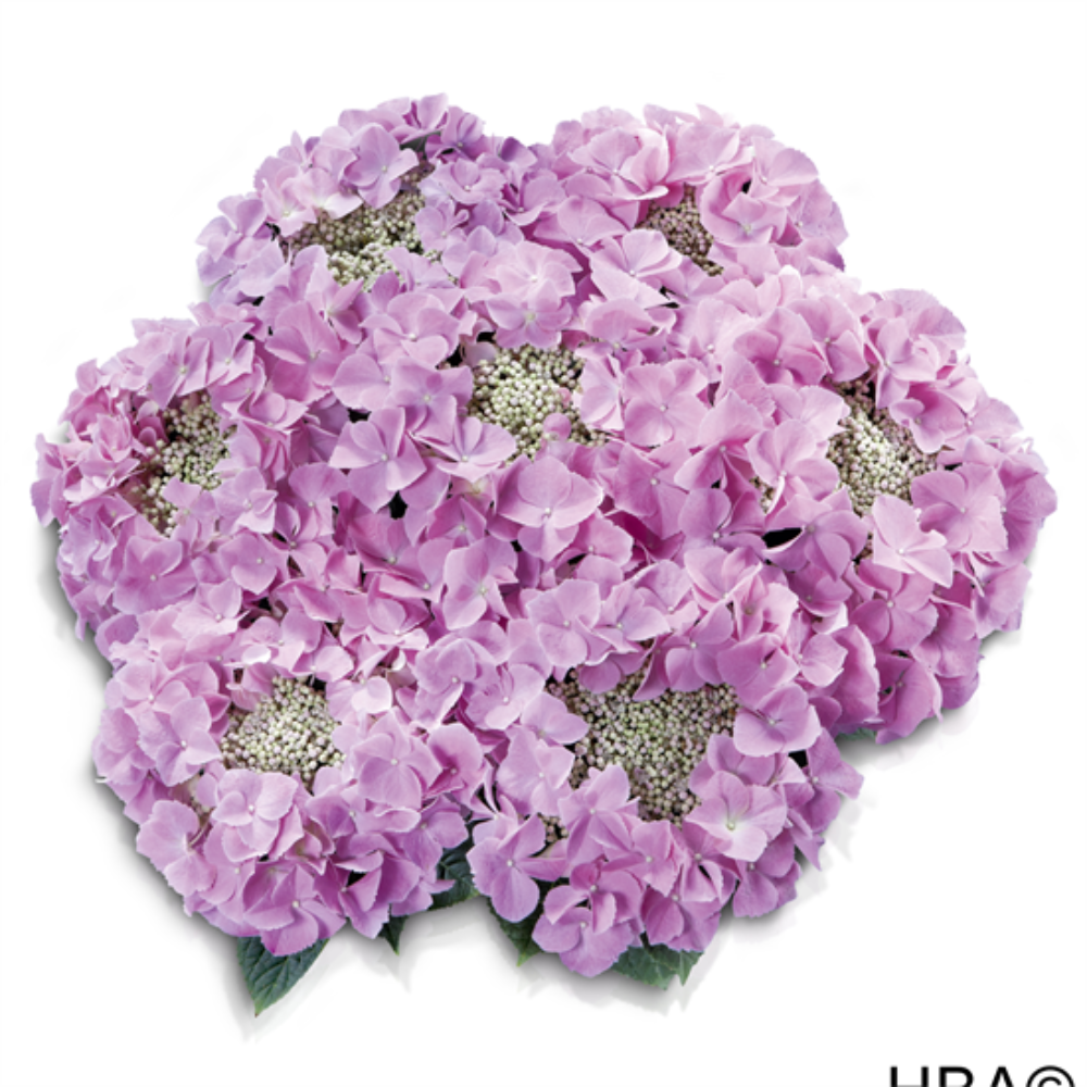 Frisbee® Rosa (Bildquelle HBA)