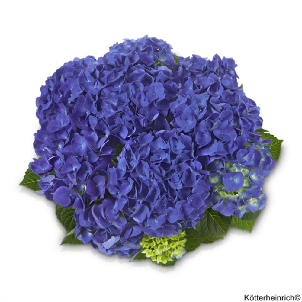 Jip Blue (Bildquelle Kötterheinrich)