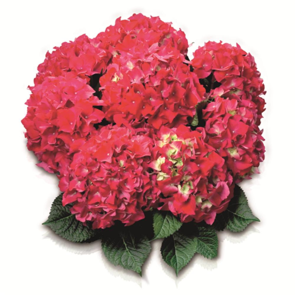 Red Beauty (Bildquelle HBA)