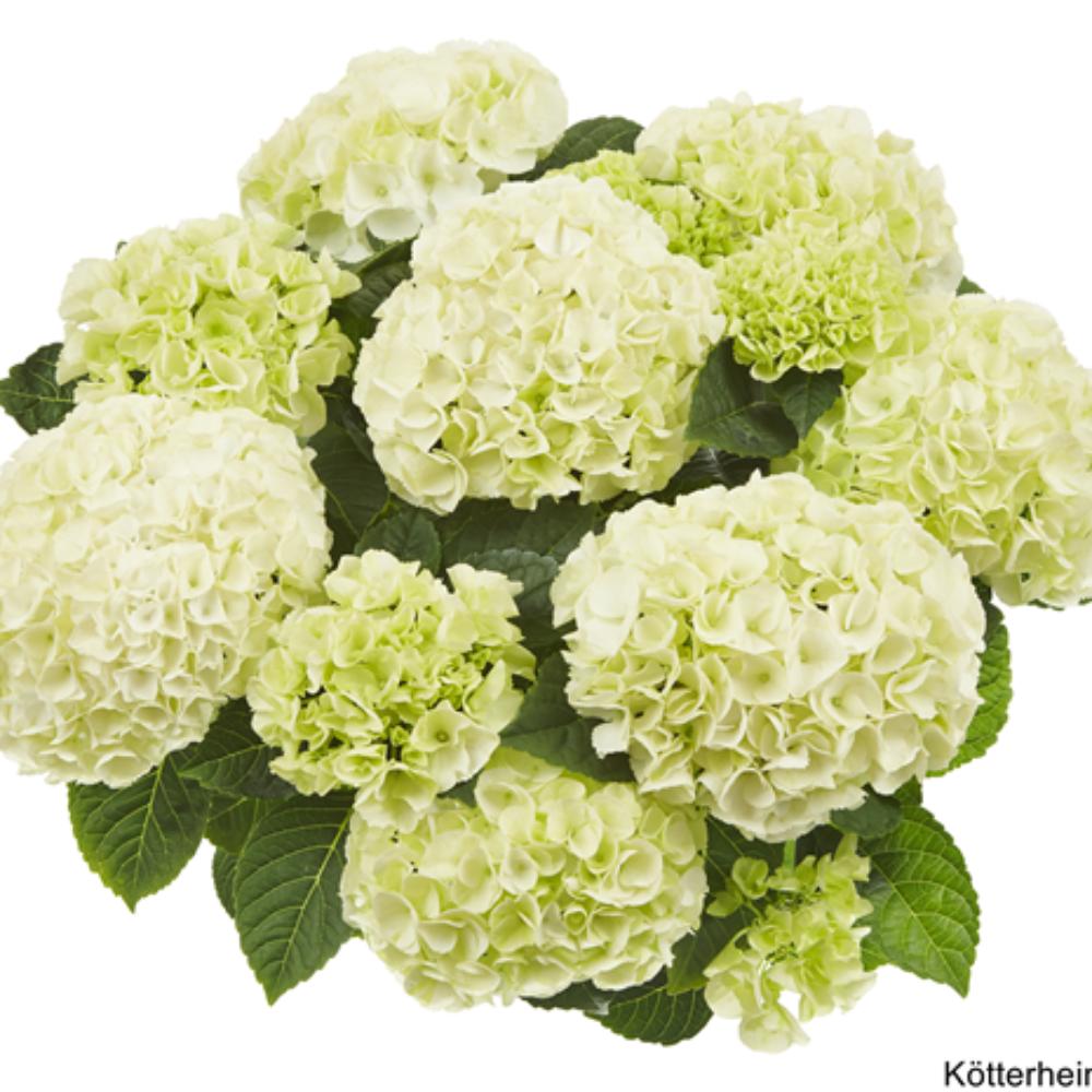 Saxon® Bright White (Bildquelle Kötterheinrich) W