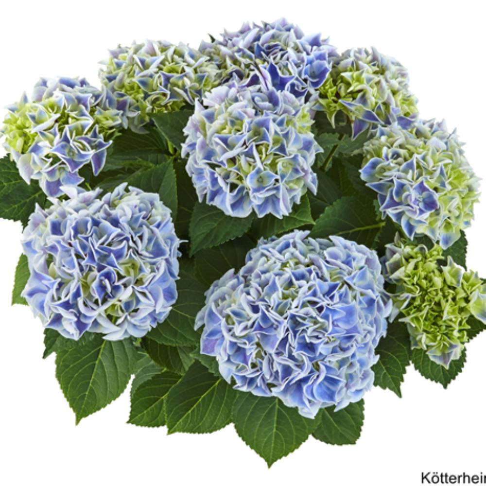 Saxon® Candy Heart Blue (Bildquelle Kötterheinrich) W