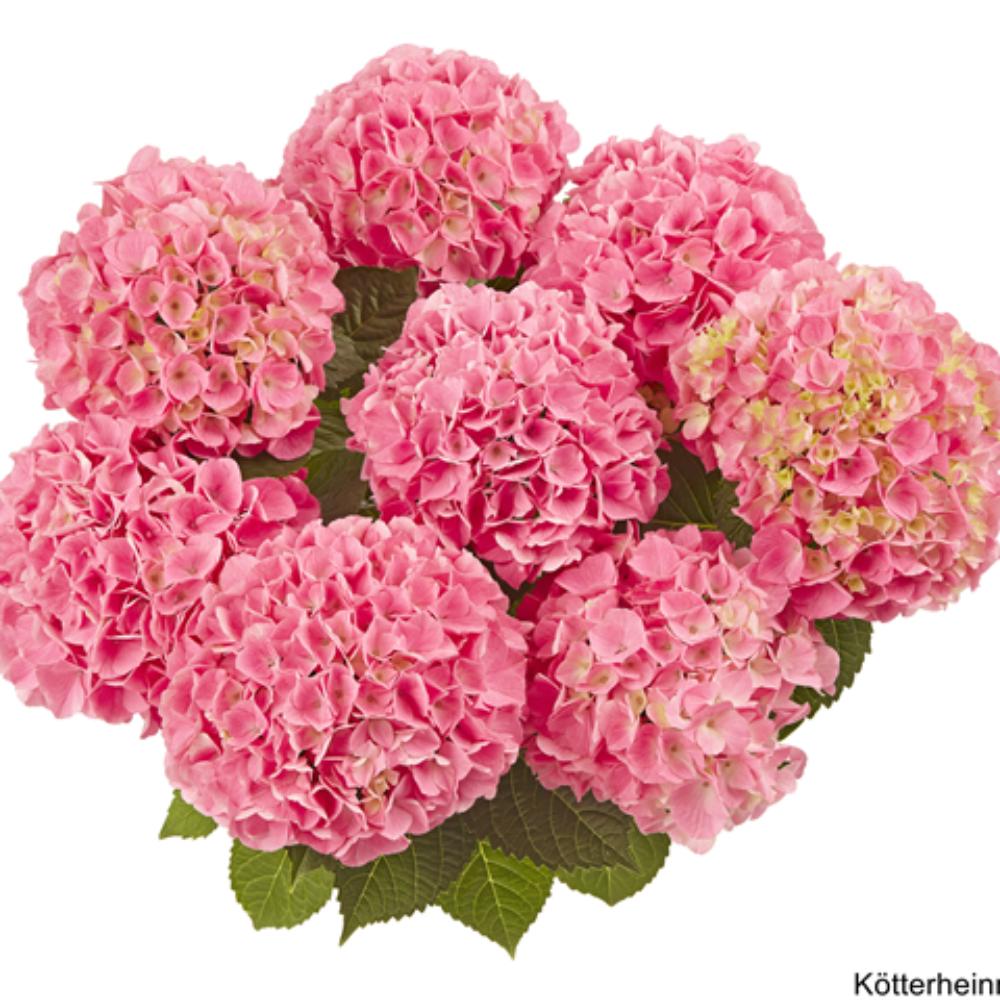 Saxon® Style Pink (Bildquelle Kötterheinrich) W