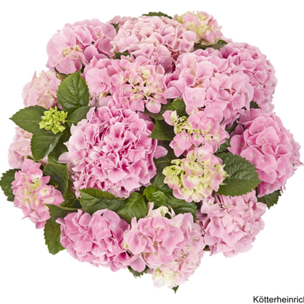 Saxon® Table Rosa (Bildquelle Kötterheinrich) W