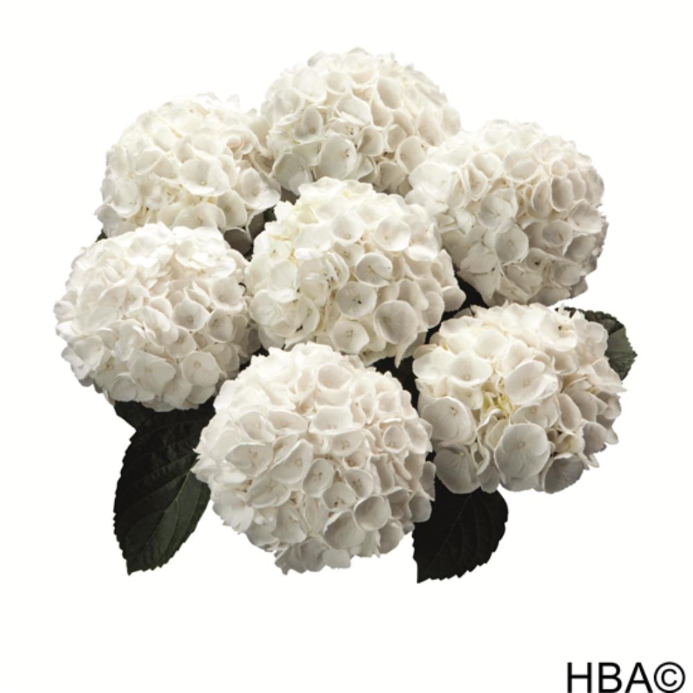 White Delight (Bildquelle HBA)